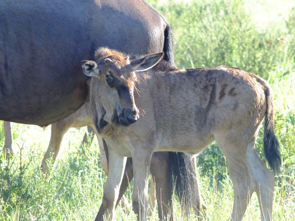 Jungtiere Kalahari © badenduo.de