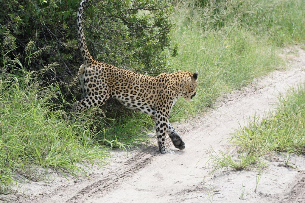 Leopard Moremi NP © badenduo.de