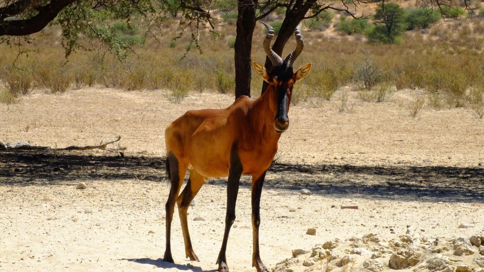 Antilopen 105