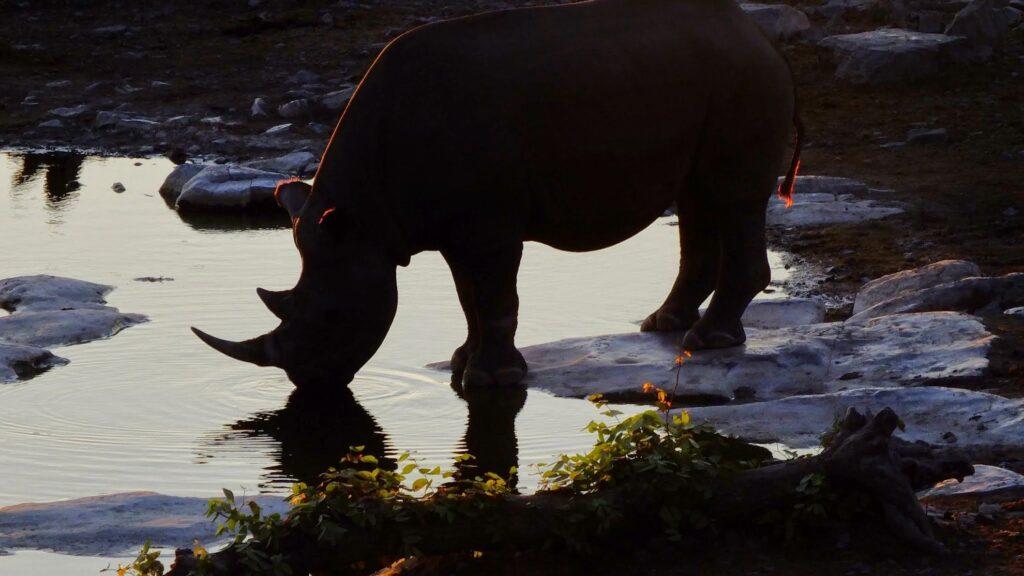Nashörner im Khama Rhino Sancuary 3