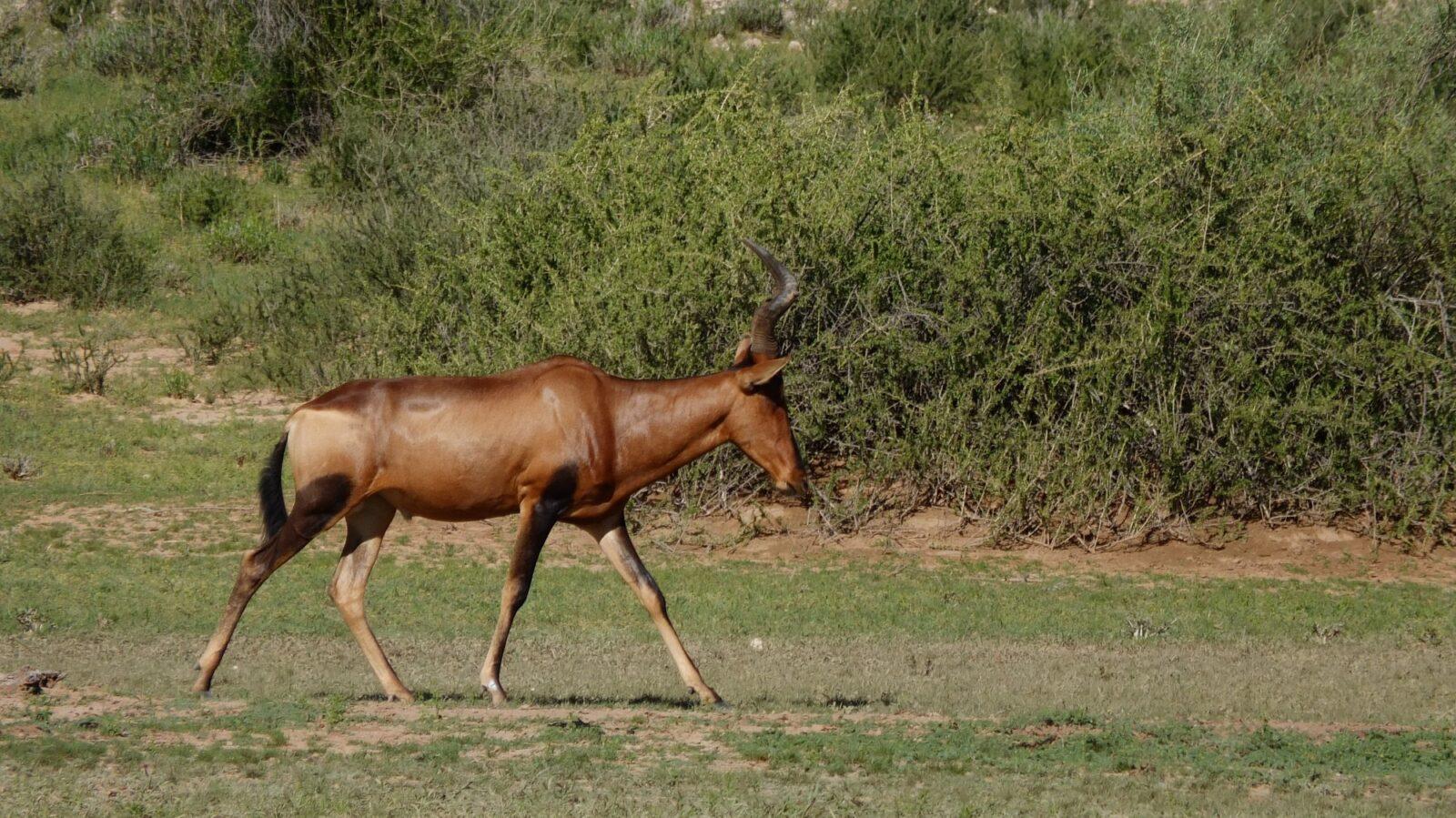 Antilopen 104