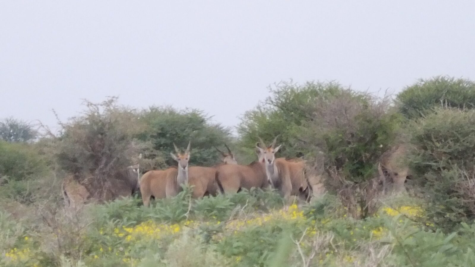 Antilopen 96