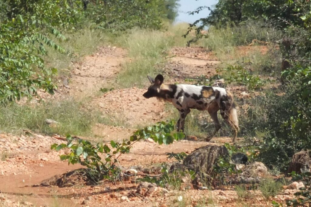 African Wild Dog Tuli Block © badenduo.de