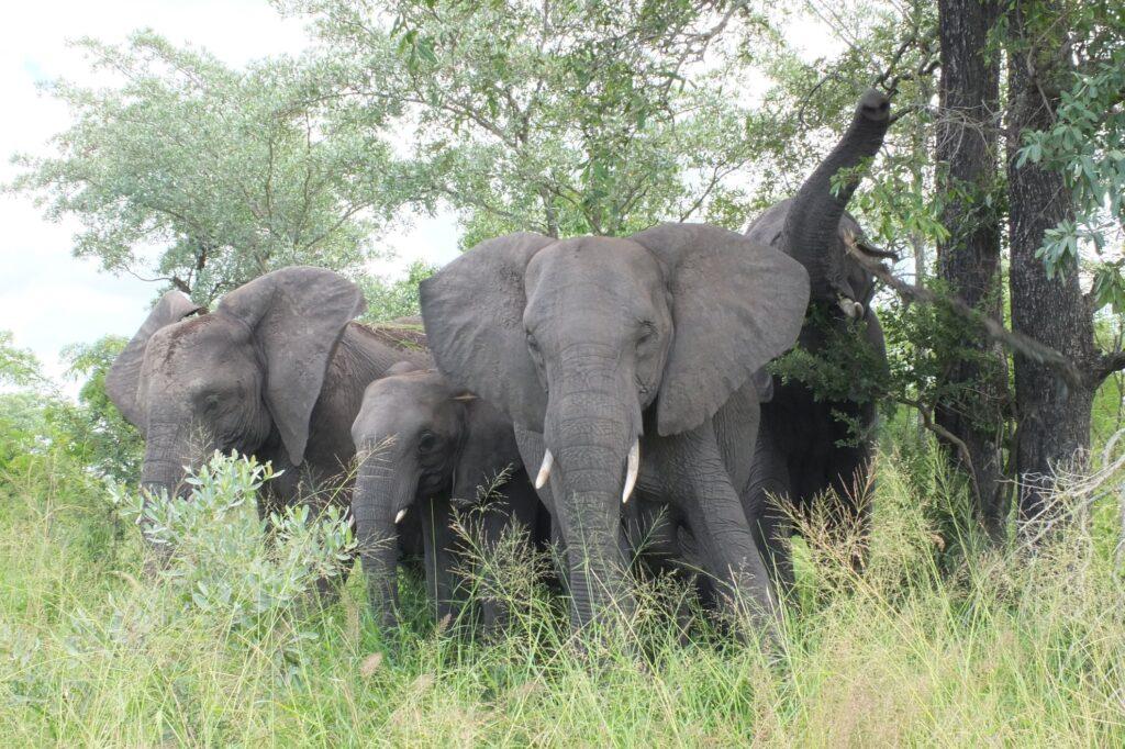 Elefanten 8