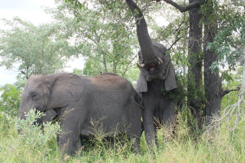 Elefanten 9