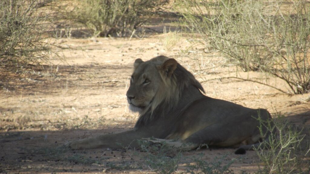 Löwen 17