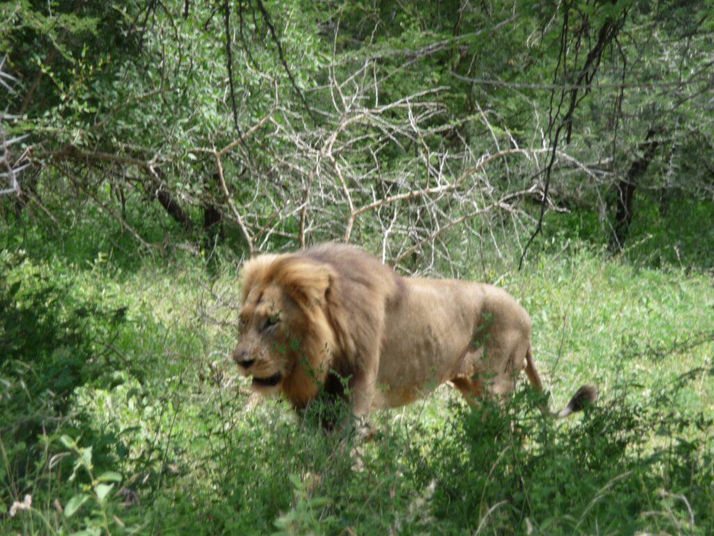 Löwen 25