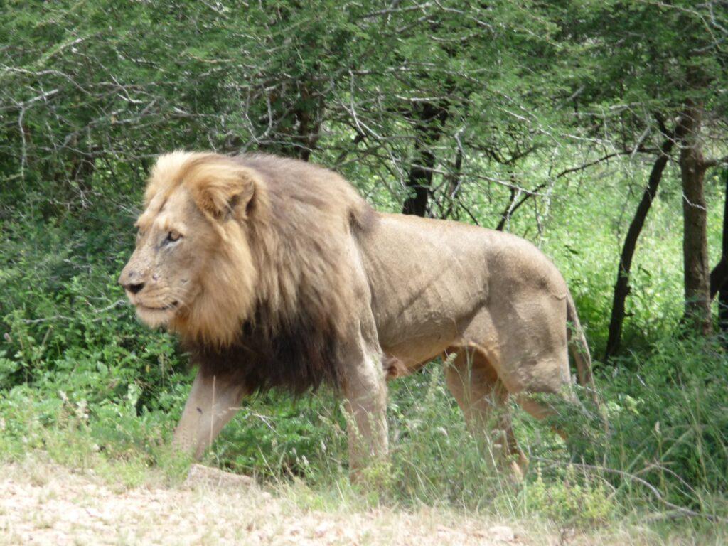 Löwen 24