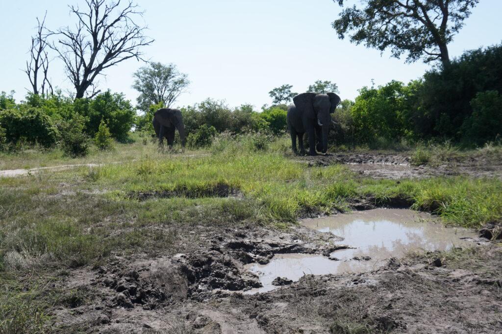 Highlight Khwai Elephants