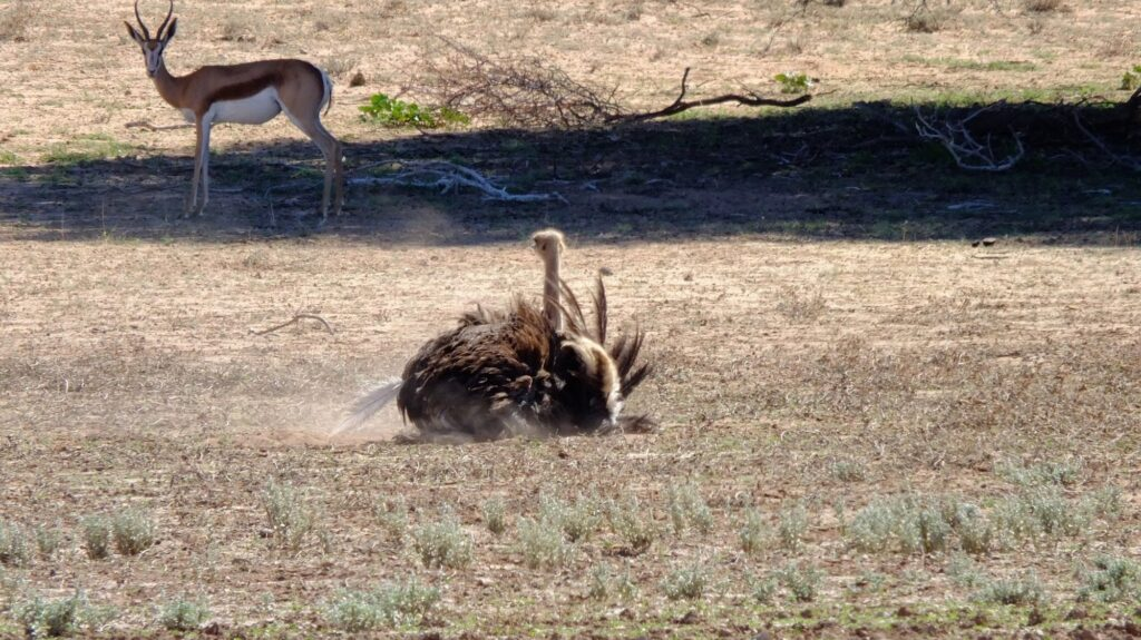 Strauss in der Kalahari © badenduo.de