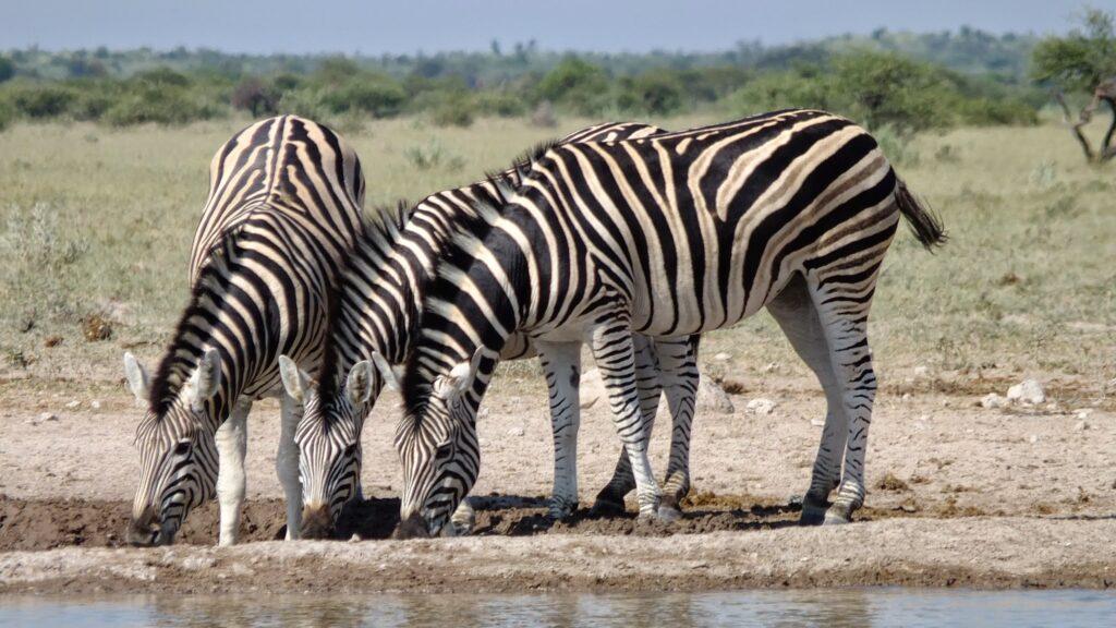 Zebras 8