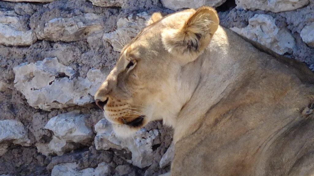 Löwen 5