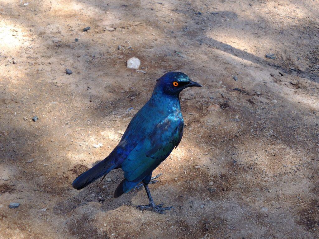 Kalahari Vögel © badenduo.de