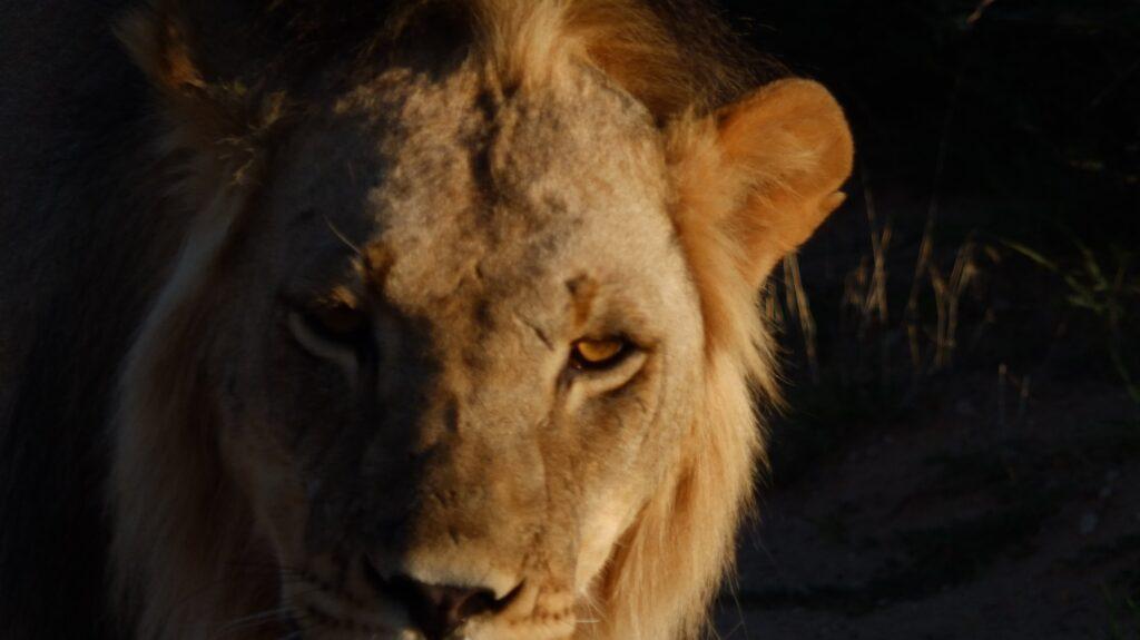 Löwen 20
