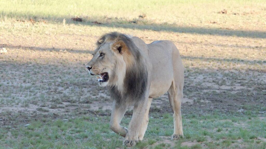 Löwen 19