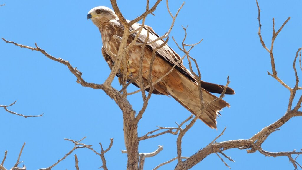 Vögel Kalahari © badenduo.de