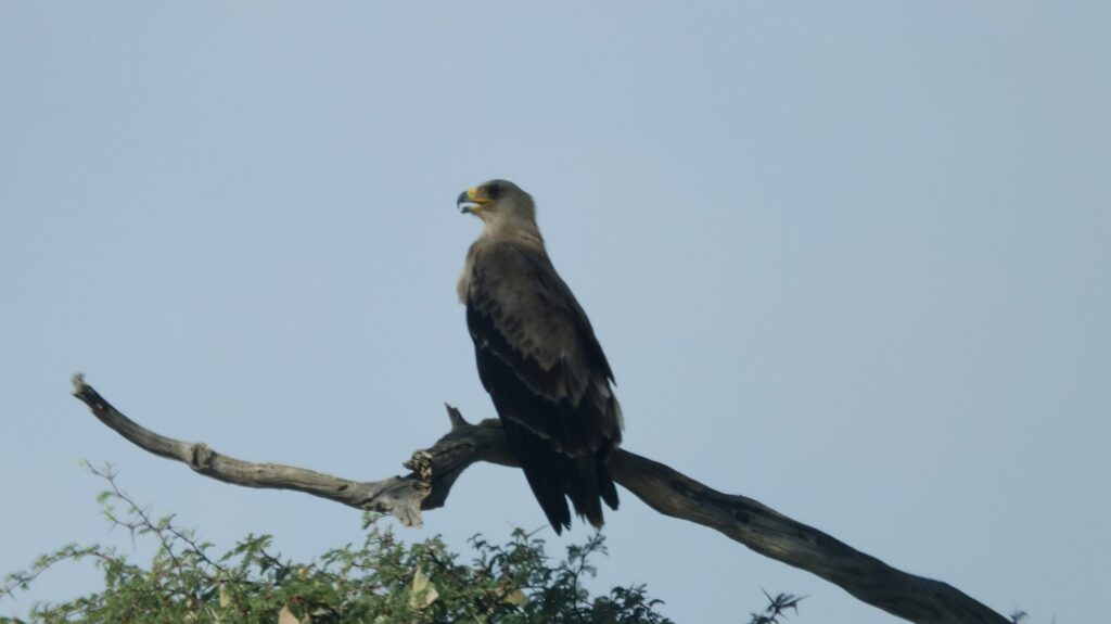 Seeadler Vögel Kalahari © badenduo.de