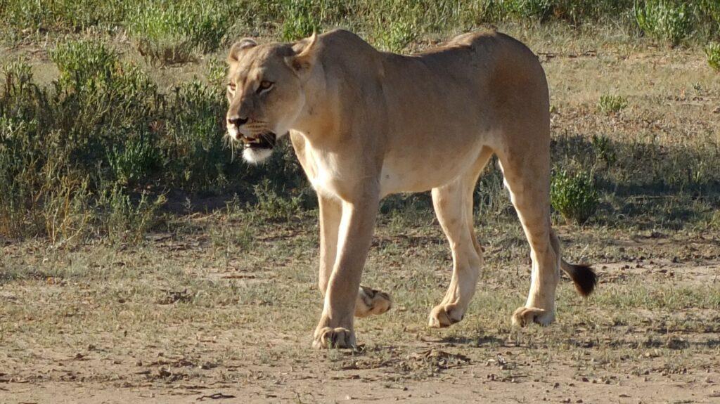 Löwen 9