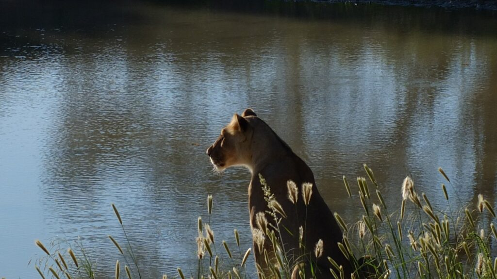 Löwen 13