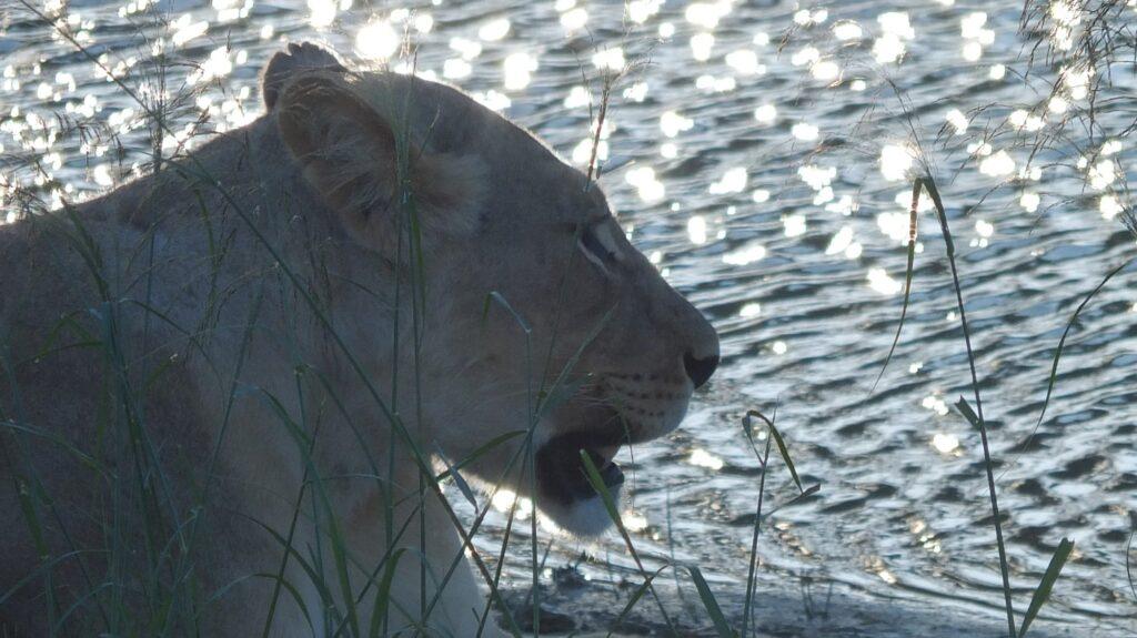 Löwen 8