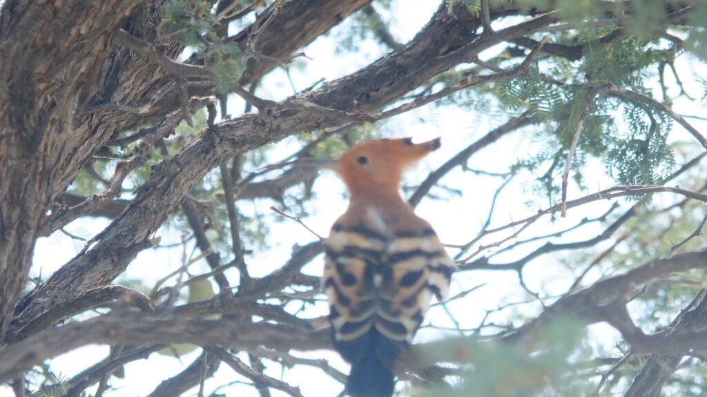 Wiedehopf Kalahari Vögel © badenduo.de