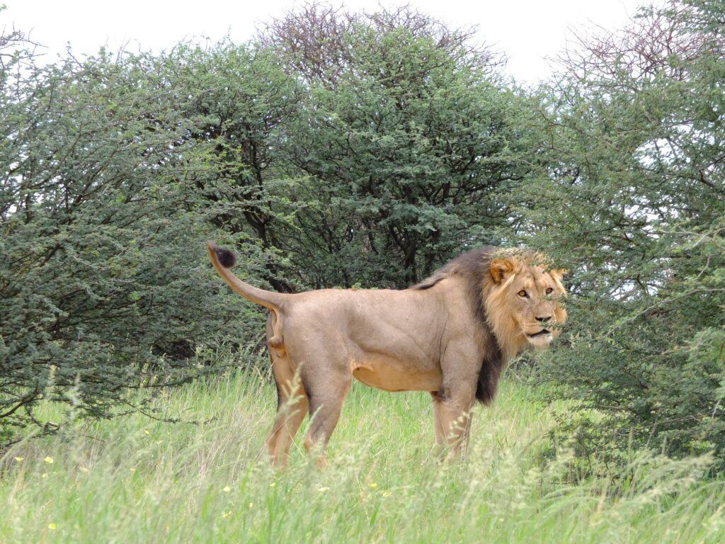 Löwen 28