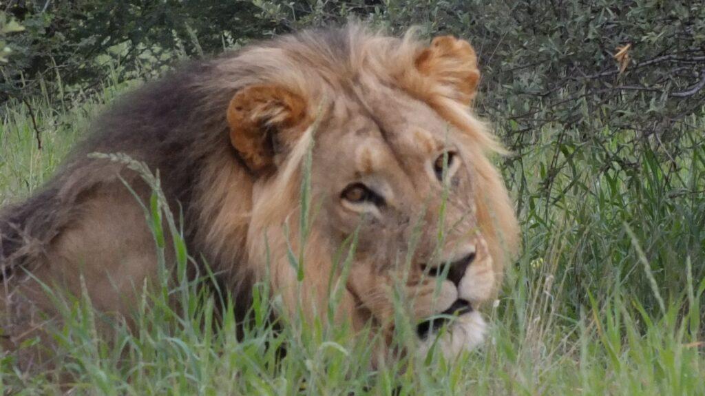 Löwen 27