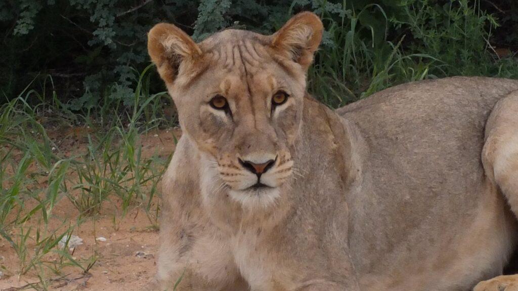 Löwen 30