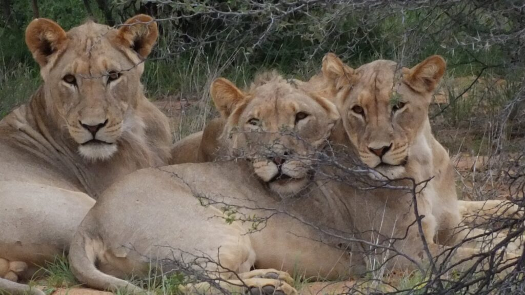 Löwen 31