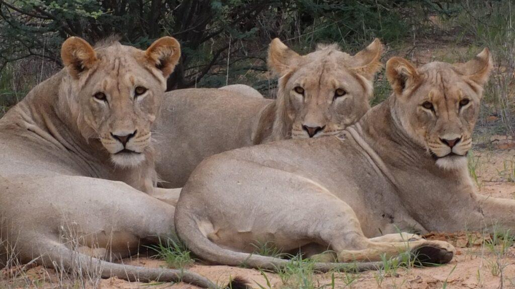 Löwen 32