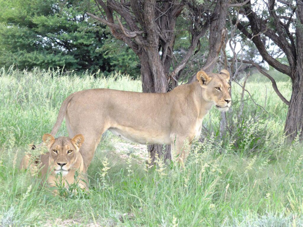 Löwen 34