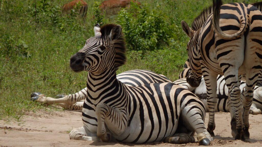 Zebras 5