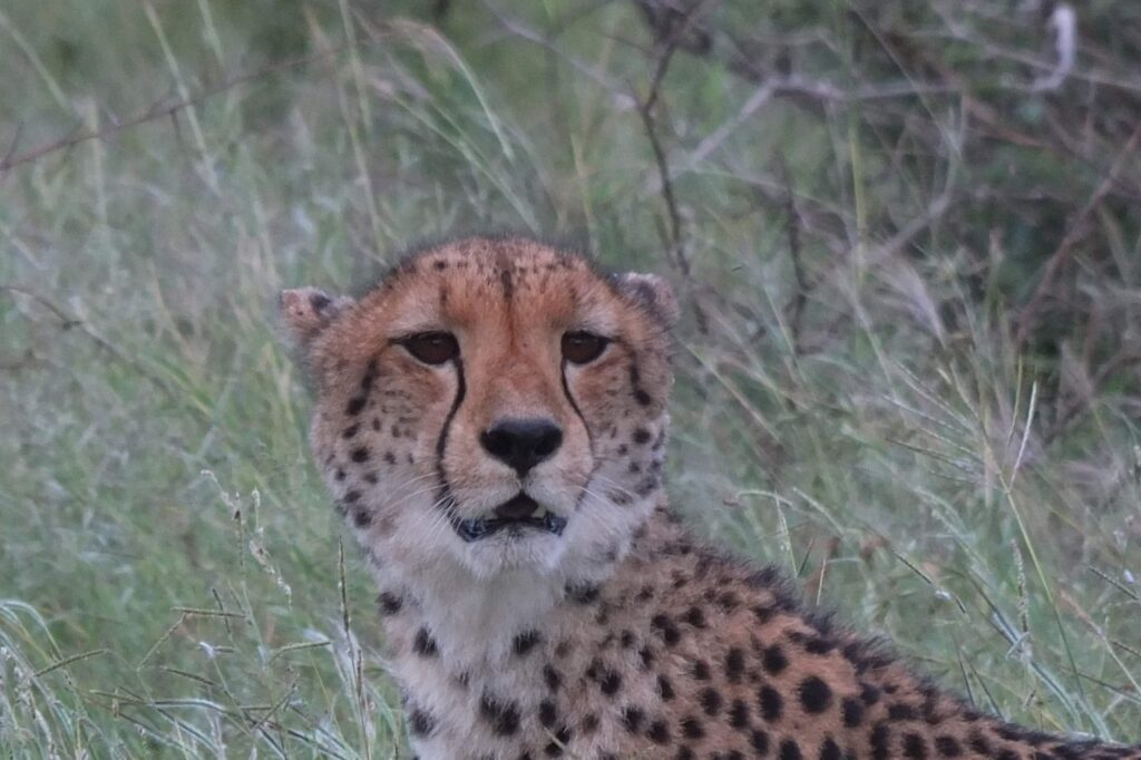 Gepard in Kruger NP/ZA © badenduo.de