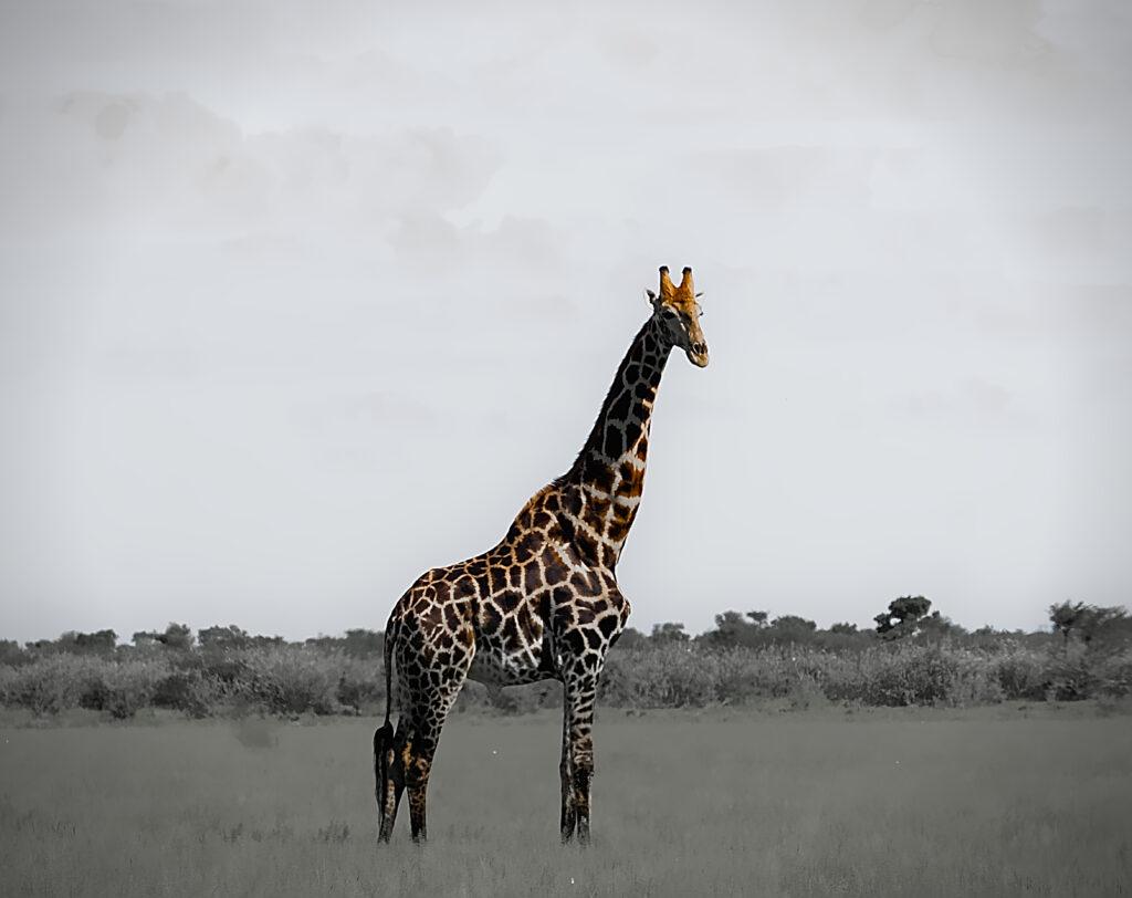 Giraffe in der Naxi Pan